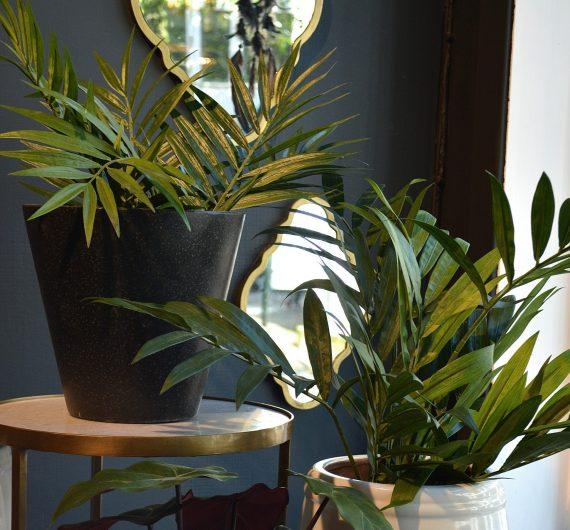 DSC 0419 570x530 - Plante - Parlour Palm
