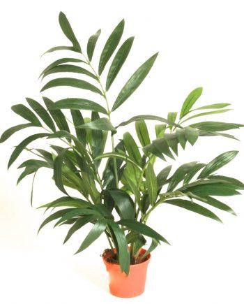 5903 1 350x435 - Plante - Parlour Palm 45 cm