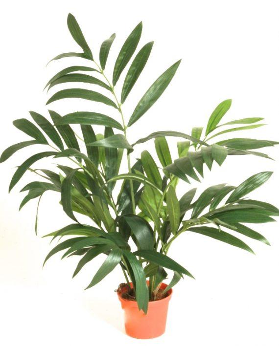 5903 1 570x708 - Plante - Parlour Palm 45 cm