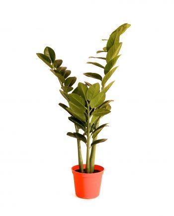 IMG 0818 350x435 - Plante -Zamioculcas