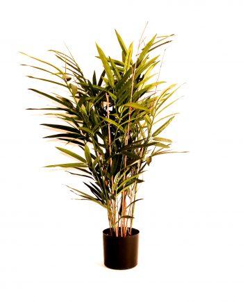IMG 0822 350x435 - Plante - Bambus