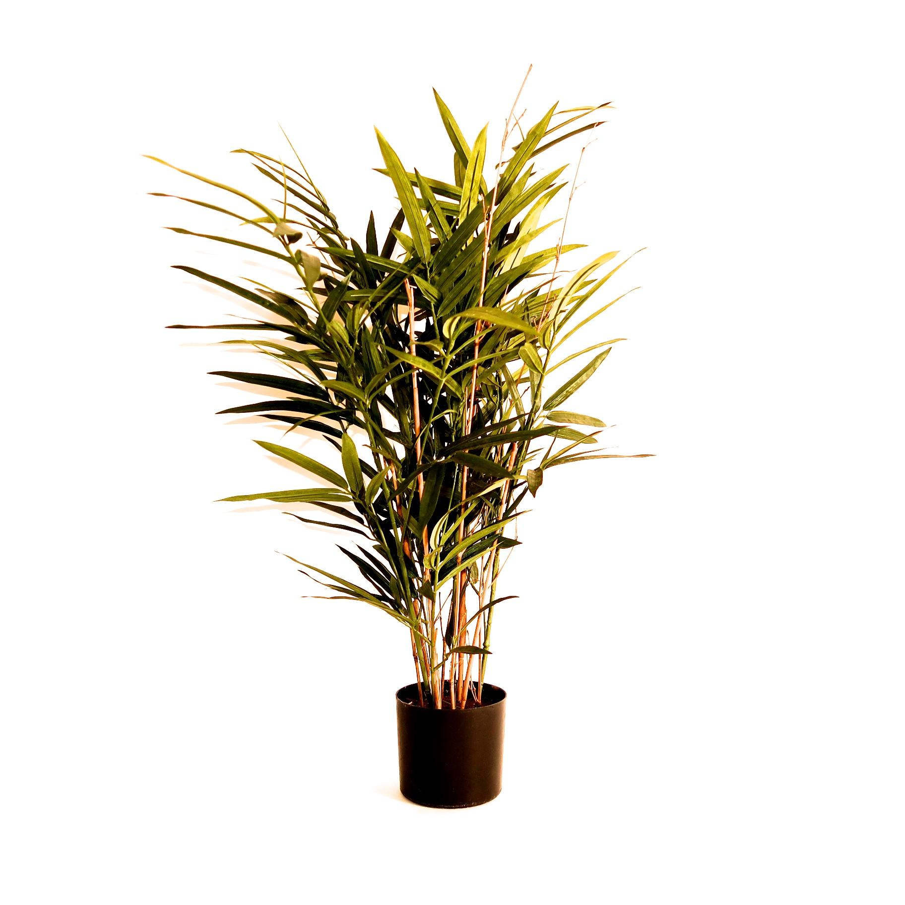 bambus plante