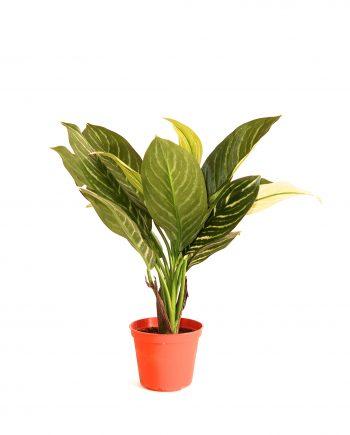 IMG 0825 350x435 - Plante - Xanthosoma