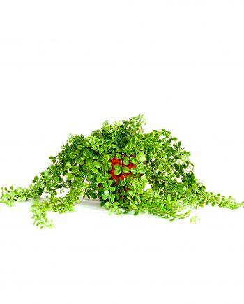 IMG 0834 350x435 - Plante - Dischidia