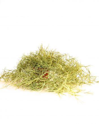 IMG 0838 350x435 - Plante - Spanish moss