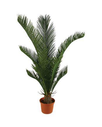 123 2 350x435 - Cycas Palm - 60 cm