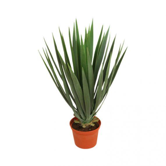 5772  570x570 - Yucca baby - 42 cm