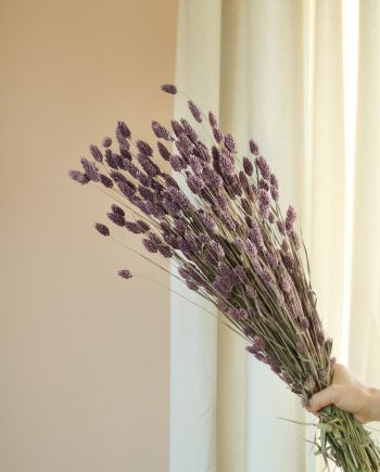 IMG 2529 350x435 - Big Phalaris - Miste Purple