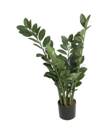 1008 066 350x435 - Plante - Zamifolia