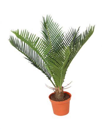 5735 350x435 - Cycas Palm - 32 cm