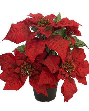 6595 80 1 350x435 - Plante - Julestjerne rød, large