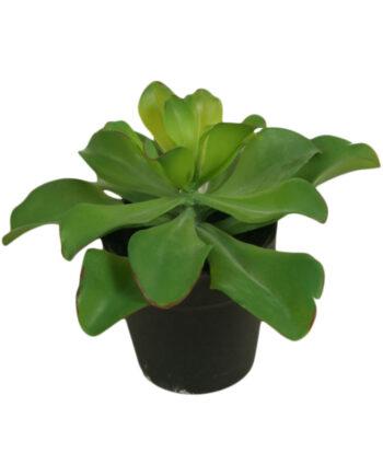 2334  1 350x435 - Plante - Echeveria in pot