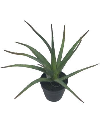 2367 Copy 1 350x435 - Plante - Aloe in pot