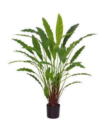 5750 1 350x435 - Plante - Calathea 77 cm