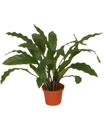 5921 1 350x435 - Plante - Calathea 35 cm