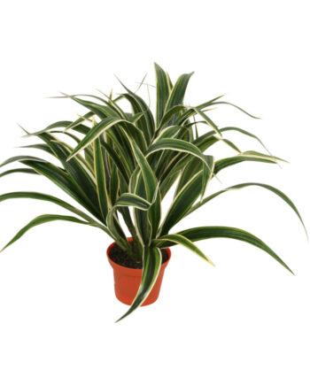 5926 1 350x435 - Plante - Chlorophytum Spider