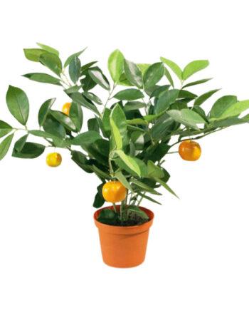 801 1 Copy 1 350x435 - Plante - Citrus 32 cm